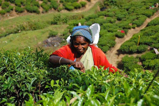 Sri Lanka - cueilleuse dans une plantation de thé
