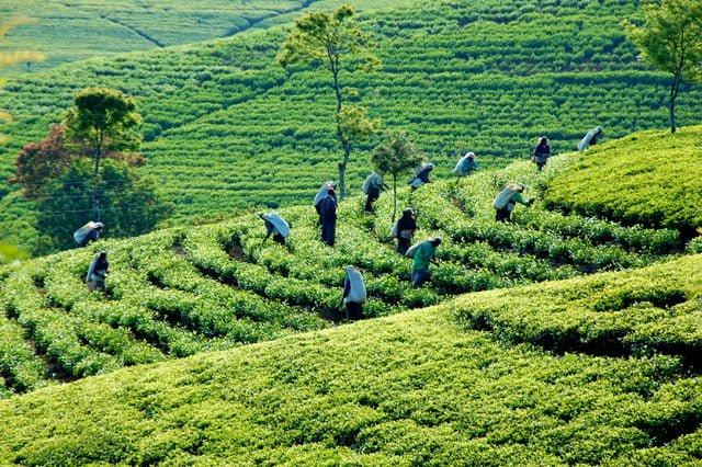 Sri lanka - plantations de thé