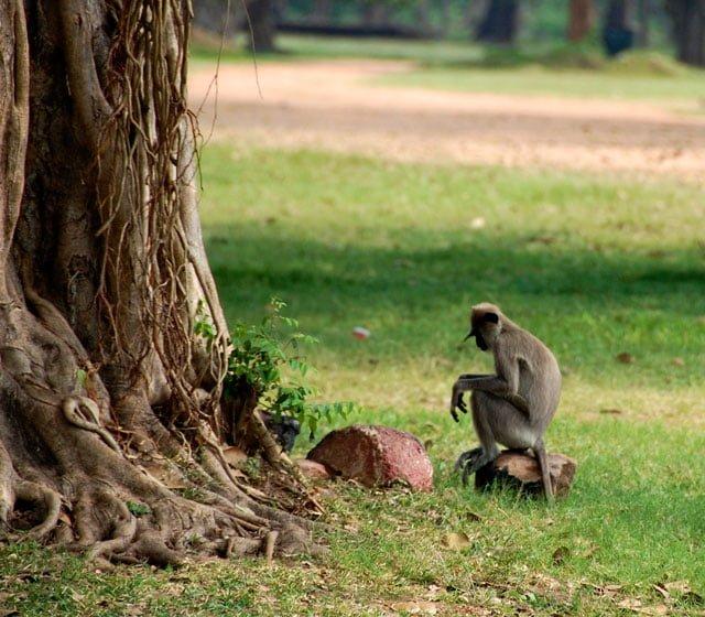 Sri Lanka - singes à Anuradhapura