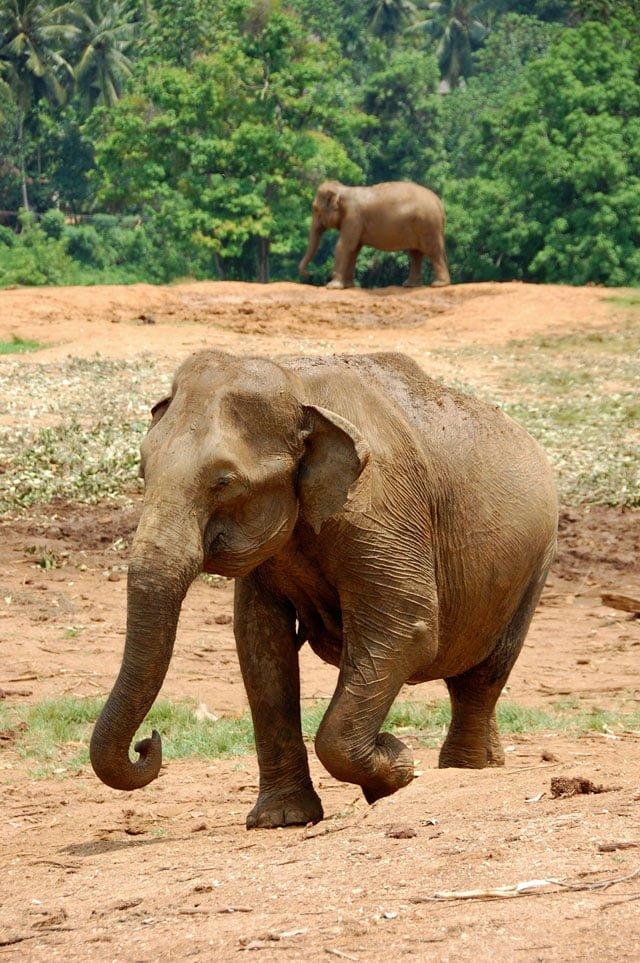 Sri Lanka - Orphelinat des éléphants de Pinawella