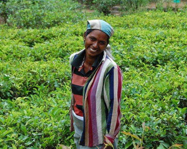 Cueilleuse dans les plantations de thé à Nuwara Eliya au Sri Lanka