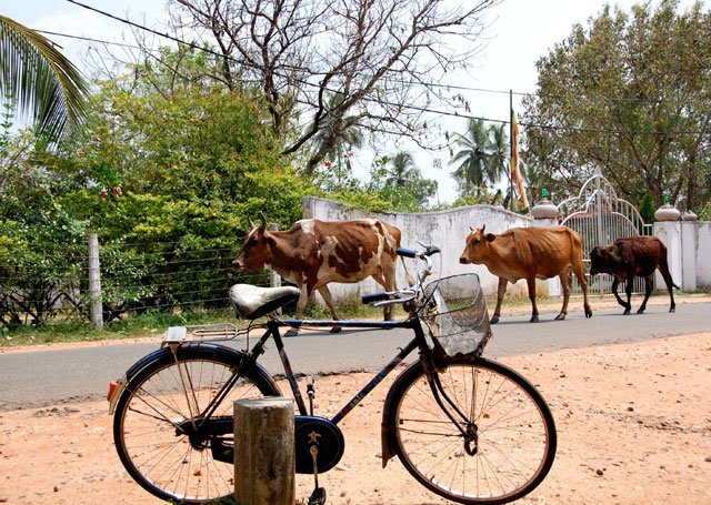 Vaches au Sri Lanka
