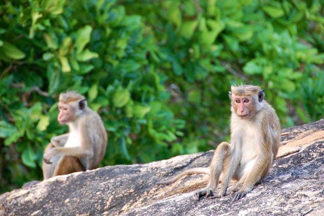 Singe au Sri Lanka