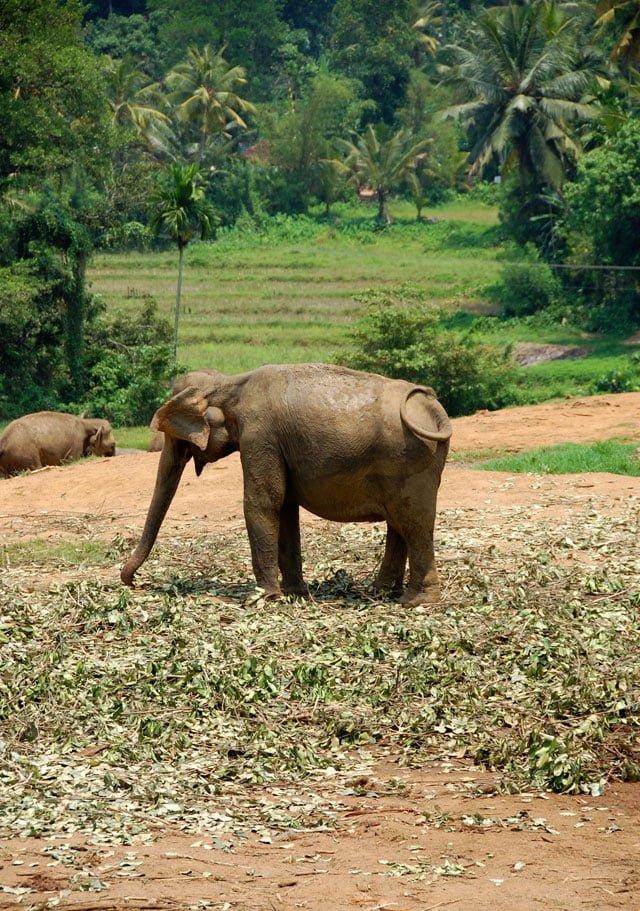 Orphelinat des éléphants de Pinawella