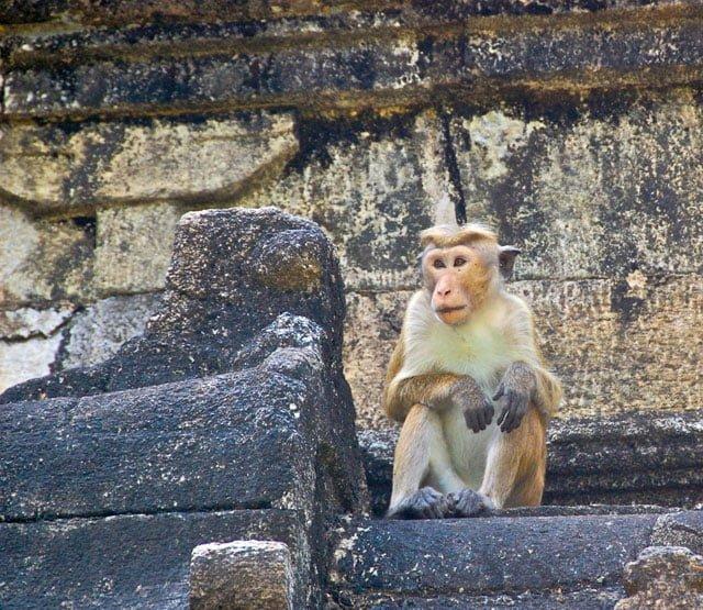 Singe à Polonnaruwa au Sri Lanka