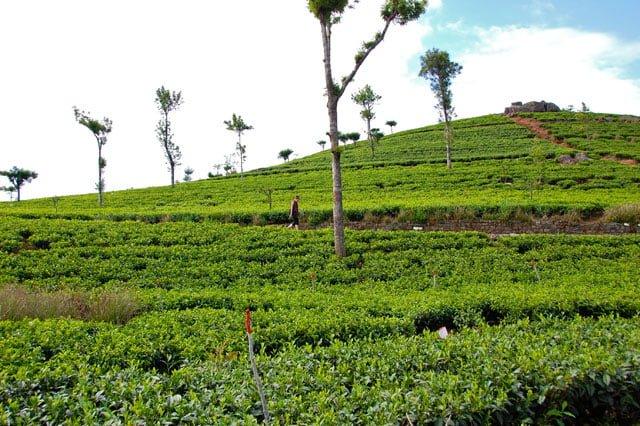 Dans les plantations de thé depuis Haputale au Sri Lanka