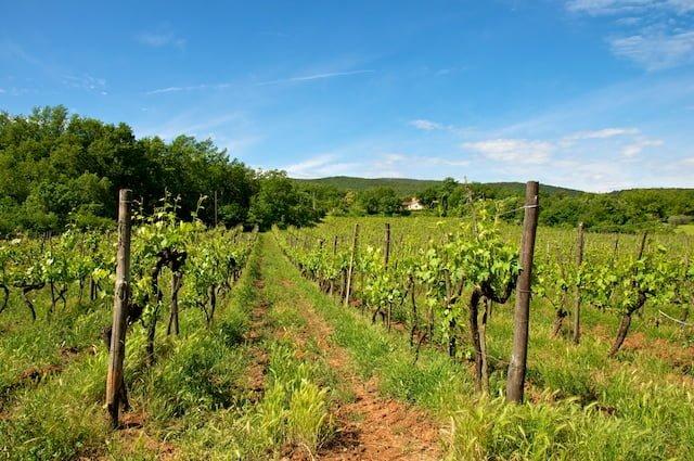 Vignes de la région du Chianti en Toscane