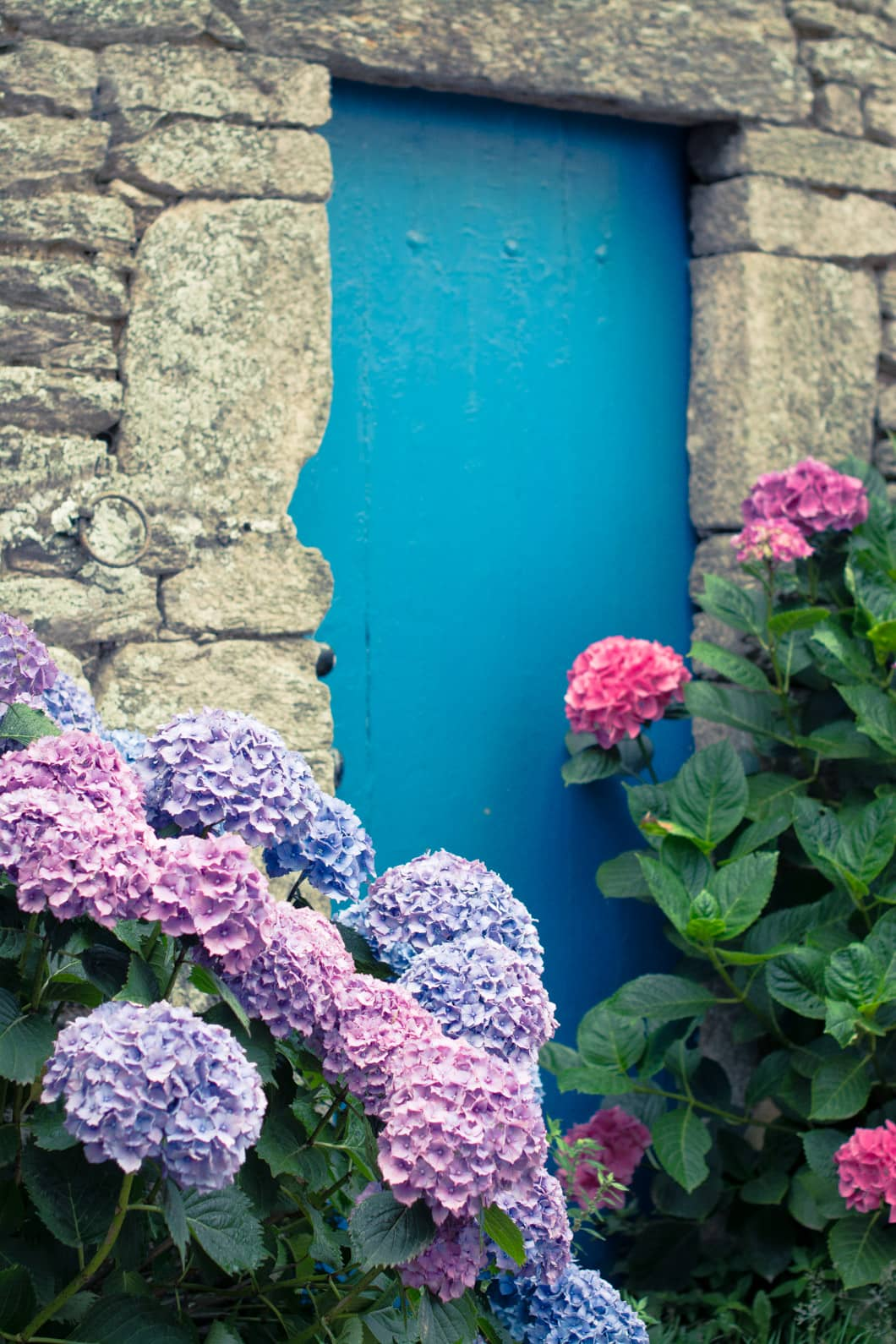 Les hortensias de l'île de Groix en Bretagne - 22 v'la Scarlett